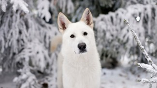 winter_white_animals_dogs_game_of_thrones_direwolf_1366x768_3950